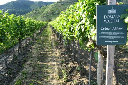 Wachau is a lovely region, where the River Danube is lined with pictorial steep terraced vineyards. People have been growing grapevine there since the 9th century.